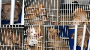 These six pit bulls and two mixed-breed dogs were seized from Jackson's property. At least four of them mauled Devitt to death, officials claim.
