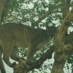 A more than 100-pound female mountain lion was sat in a tree in the front yard of a west Lancaster home for more than two hours Monday morning. (Photos by ED FROMMER)