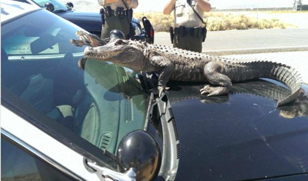 Deputies had a close encounter with this alligator, a kangaroo and a baby monkey (not pictured), according to Lancaster Community Relations deputy Michael Rust. (Photos courtesy LASD)