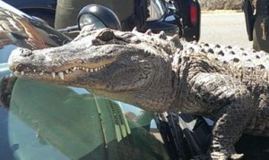 Zoo to you in Lancaster alligator 2