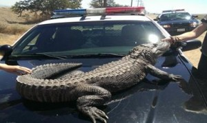 Zoo to you in Lancaster alligator 3