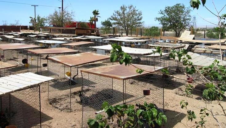 Forty hens used for breeding and 239 fighting birds were seized from an alleged cockfighting operation at 34230 90th Street East in Littlerock. (Courtesy LASD)