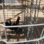 Suspected fighting fowl seized in Antelope Valley