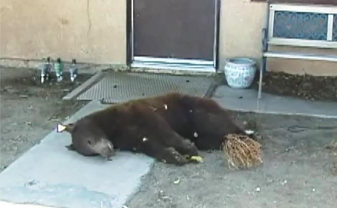 The 3-year-old male bear found dead in front of a Littlerock home this morning was previously spotted in Baldwin Hills on Friday and then tranquilized and released into the Angeles National Forest, according to Andrew Hughan of the California Department of Fish and Wildlife. (Photo by ED FROMMER)