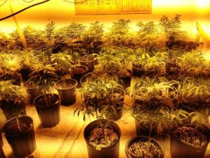 Two hundred marijuana plants were seized. (LASD)