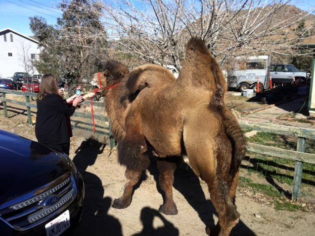 A woman at the nearby horse property was able to calm the camel and ultimately put a halter on him. (Photo courtesy LASD)