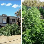 Neenach marijuana bust 4