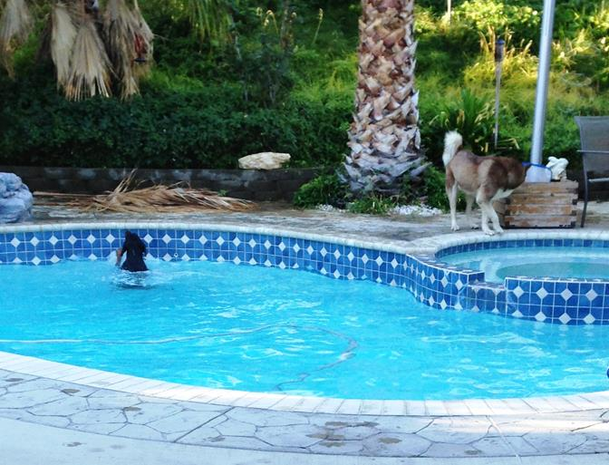 Solop said she took this picture after she was awakened around 7 a.m. Tuesday, Sept. 23, to the sounds of distressed barking. The neighbor's Husky was circling the pool and barking in distress as the neighbor's Doberman struggled to get out of the pool. (Contributed)