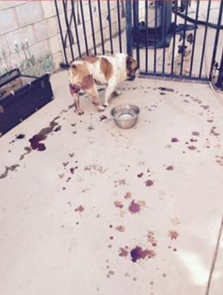 This photo was taking about two hours after Max returned home, according to his owner. She said her beloved English Bulldog was dripping blood everywhere. (Contributed photo)