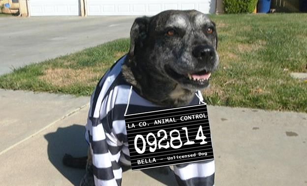 """Unlicensed """"Bella,"""" star of the Palmdale's PSA """"Don't Let This Happen to Your Dog."""" (Contributed photo)"""