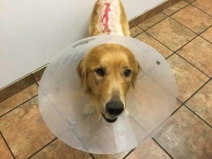 The crimes against dogs came to light earlier this month when a golden retriever was brought to a Lancaster animal shelter suffering from severe burns on its neck and back. (Image courtesy Southern California Golden Retriever Rescue)